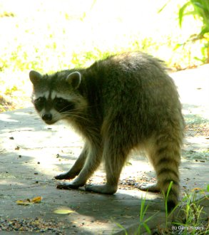 Raccoon who stays around the house.