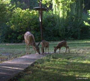 The 2014 Mule Deer Fawn Twins