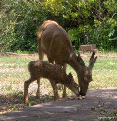 A 2014 Mule Deer Fawn