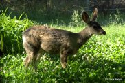 The 2013 Mule Deer Fawn with winter coat