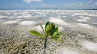mangrove-plant