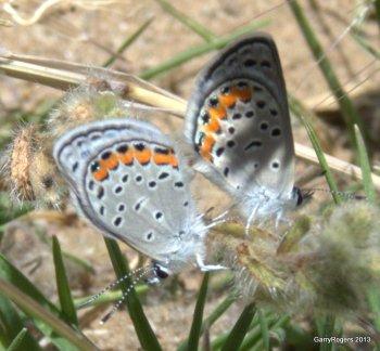Melissa Blue Butterfly?