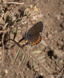 Acmon Blue Butterfly (?)