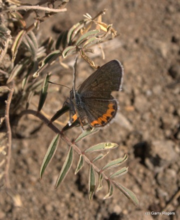 Acmon Blue Butterfly (?)