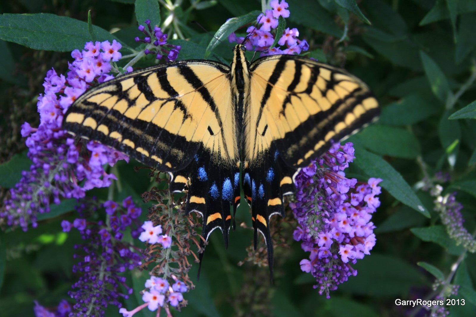 Butterflies Decline At Coldwater Farm Garryrogers Nature