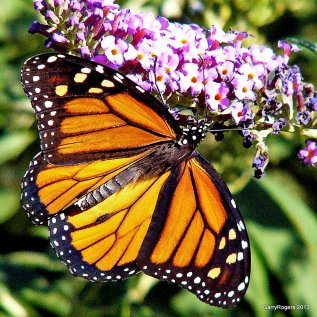 Monarch butterfly at Coldwater Farm.