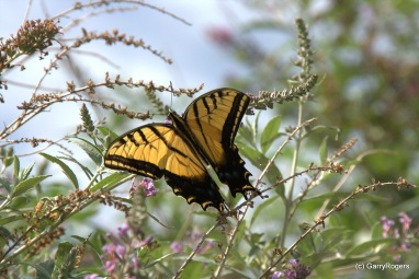 Two-tailed Swallowtail (AZ State Butterfly)