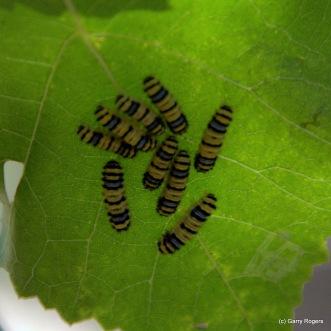 Tiny catterpillars on grape leaf