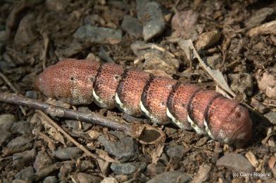 Huge catterpillar