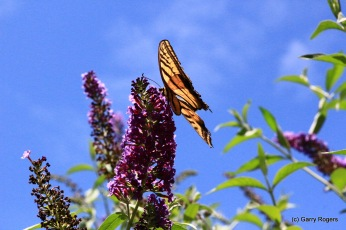 Two-tailed Swallowtail (AZ State Butterfly) on Butterfly Bush