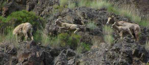 Bighorn sheep by Ken Cole