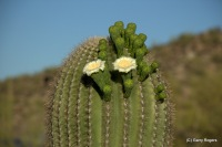 Saguaro cactus blooming in 2016 two months earlier than usual.