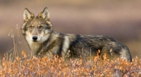 alaska-wolf-yva-momatiuk-and-john-eastcott-national-geographic-creative