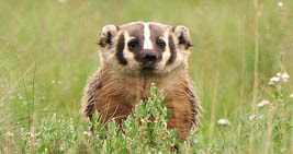 frightened-badger