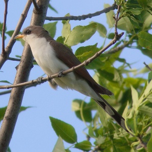 Yellow-billed Cuckoo by mdf