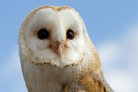 """Barn Owl (Tyto alba) Barn Owls are the most widely distributed of all owl species. They hunt small rodents, and never take anything as large as a house cat or dog. Barn Owls range from 10″ to 18″ in height. They can live for 25 years, but because of human impacts and natural predators, they rarely live more than two. If you have a Barn Owl living nearby, you have probably heard its """"shreee"""" sound that's nothing like the hoots of the Great Horned Owls or the toots of the Northern Pygmy Owls that we often hear in Dewey-Humboldt.   Nest:  Large tree cavity, barn loft, or house attic. Farmers often place nest boxes around their fields. Conservation:  Cats and other owls prey upon barn Owls, and pesticides in the tissues of their prey poison them. Some farmers have stopped using pesticides, but most haven't. The owls are endangered in seven stats, but not yet in Arizona. (Birds of Dewey-Humboldt, Arizona. GarryRogers.com. Photo: Female by Tony Hisgett)."""