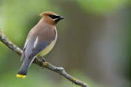 Cedar Waxwing (Bombycilla cedrorum) Cedar Waxwings are medium-sized with very smooth feathers. They have a crest that often droops over the back of the head. The wings are broad and pointed, like a starling's. The short tail is square-tipped. These birds are uncommon in Dewey-Humboldt. Though they usually form large flocks, I've only seen two groups of three birds. Waxwings pick berries while perching in berry-laden shrubs or trees or while hovering in mid-air. A line of waxwings perched on a branch sometimes pass a berry from bill to bill, until one of them swallows it. They also cruise over water hunting insects, like abdominous swallows. Nest: Waxwings lay three to five pale gray to bluish gray finely speckled eggs in loose nests built in trees. Conservation: Wildlife biologists consider the Cedar Waxwing safe in some areas and vulnerable to extinction in others. (Birds of Dewey-Humboldt, Arizona. GarryRogers.com.)