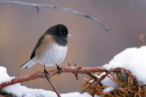 Dark-eyed Junco (Junco hyemalis) Juncos do not migrate, but in the fall, they often drift out of their mountain homes down to nearby valleys. They are especially common in D-H during fall and winter months. These small songbirds have black to light-gray hoods. Males tend to be darker and grayer, females tend to be lighter and browner. All have white bellies and white outer tail feathers that form a flickering V shape when they fly. Juncos eat seeds, insects, and fruit. They prefer to eat on the ground, so sprinkle a few seeds for them when you fill the feeder. Wild birds can live more than 11 years. Nest: Juncos nest in forested mountains. They build their grass and twig nests on the ground and occasionally in a tree. Conservation: Though Juncos are still numerous, the American Breeding Bird Survey reports that Junco populations declined by about 50% from 1966 to 2015. (Birds of Dewey-Humboldt, Arizona. GarryRogers .com. Photo: Dave Menke)