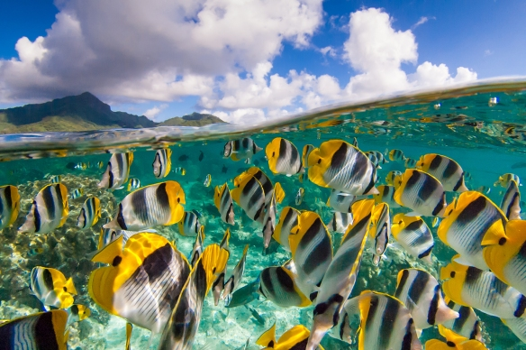 A beautiful split image of a school of yellow butterfly fishes and the blue sky in French Polynesia