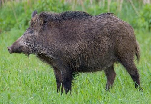 Feral Eurasian Wild Boar