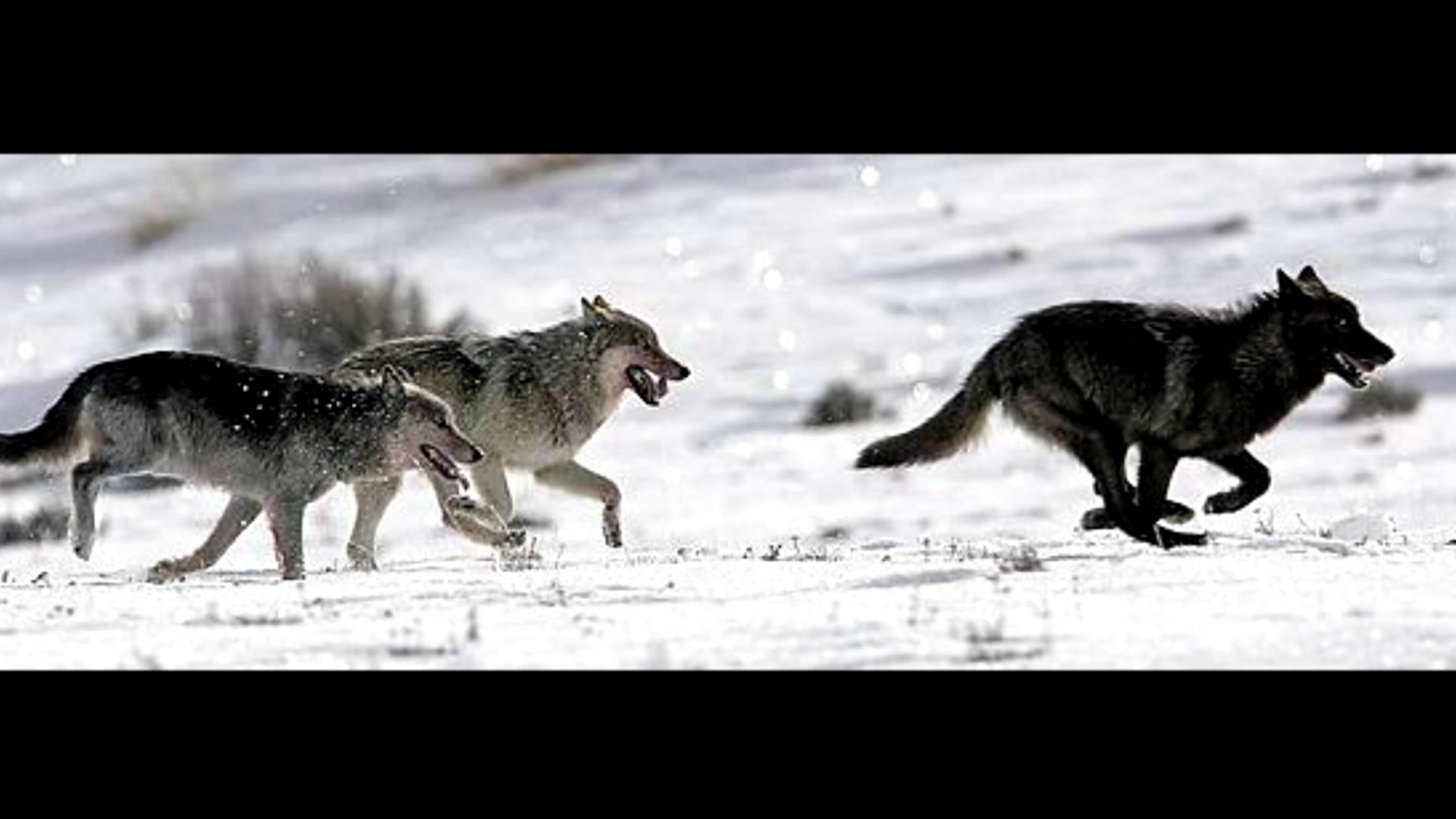 Wolf Pack running in snow Winter scenic on cottonVIP design