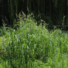 Six-foot tall clump of Barnyard Grass
