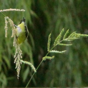 Lesser Goldfinch showing his tail feathers as he hangs beak down polishing off Barnyard Grass seeds.