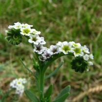 Alkali Heliotrope Flowers