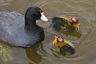 American Coot by Mike Baird