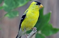 American goldfinch by Rodney Campbell