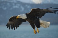 Bald_Eagle_Alaska_by Carl Chapman
