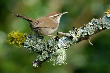 Bewicks_Wren by Minetti Layne