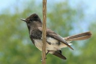 Black Phoebe by Linda Tanner