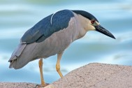 Black-crowned_Night_Heron_By Dick Daniels