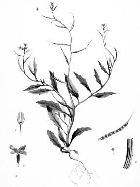 Blue Mustard - Flora Batava — Volume 20 1897 - Pub Domain