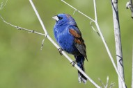 Blue_Grosbeak,_Passerina_caerulea By Bill Bouton
