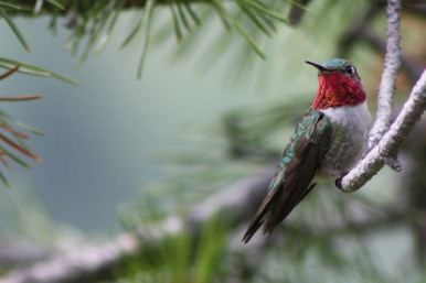 Broad-tailed_Hummingbird_male_perched_on_branch By Kati Fleming