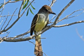 Brown-crested_Flycatcher_RWD By Dick Daniels