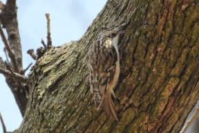 Brown_Creeper_(13392248054) By Andy Reago & Chrissy McClarren
