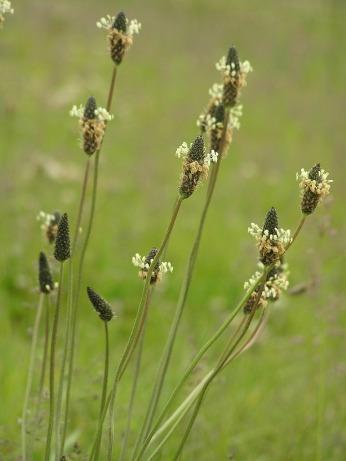 Buckhorn Plantain _箆大葉子、ヘラオオバコ - CC BY-SA 3.0