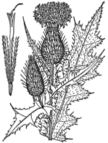 Bull Thistle -Drawing