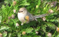 Bushtit,_Marina_Bay,_California_1 By black_throated_green_warbler