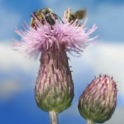 Canada Thistle with Bees by Richard Bartz (CC BY-SA 2.5)
