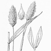 Carolina Canarygrass - Hitchcock and Chase p. 554