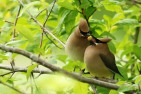 Cedar_waxwing_Courtship By Minette Layne