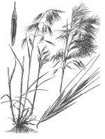 Cheatgrass - free