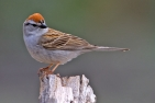 Chipping Sparrow, Cabin Lake Viewing Blinds, Deschutes National Forest, Near Fort Rock, Oregon