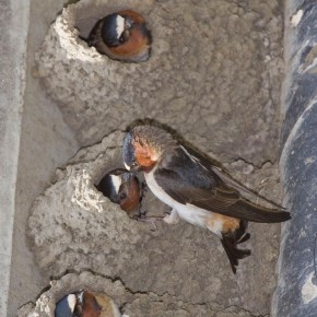 Cliff sparrow By marlin harms