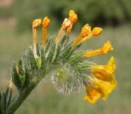 Coast Fiddleneck - Curtis Clark - CC BY-SA 2.5