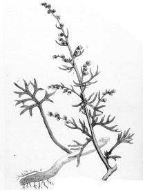 Common Sagewort - Ypey37 - Public Domain